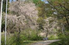 2本の葉桜