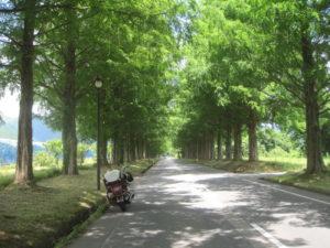 メタセコイヤ並木道1