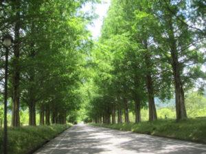 メタセコイヤ並木道2